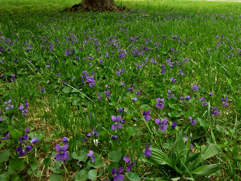Lots of violets under the apple tree