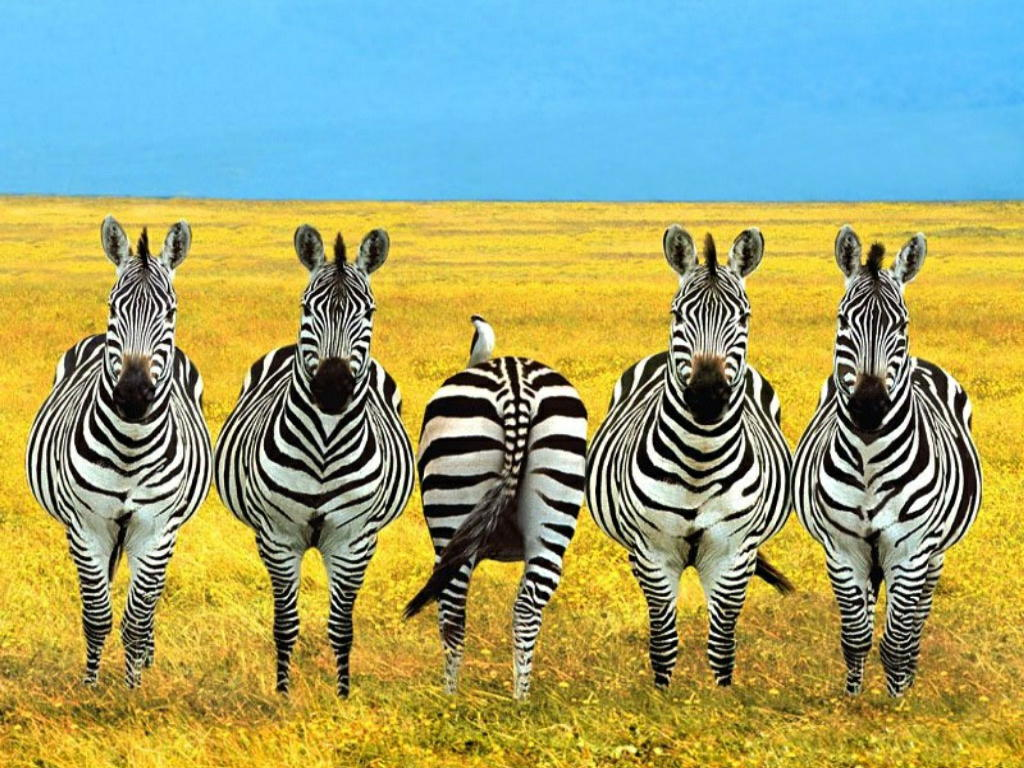 zebra free stock photos pictures in stitches. Black Bedroom Furniture Sets. Home Design Ideas