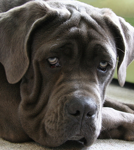 saved by dogs italian mastiff the neapolitan