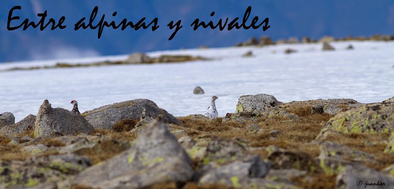 Entre alpinas y nivales