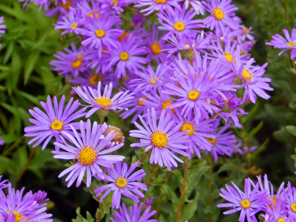 Jeffco Gardener Fall Blooming Perennials Add Color To The