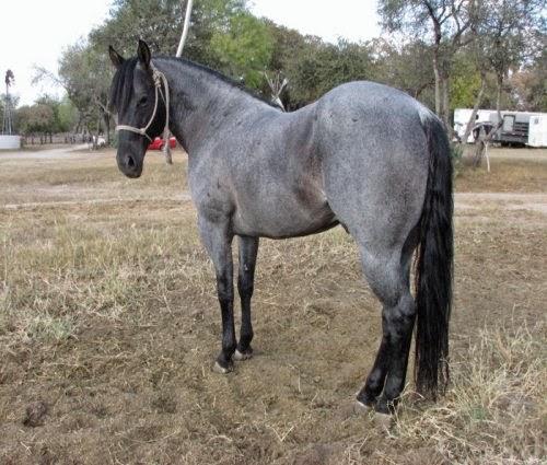 Blue Roan Horses picture 2