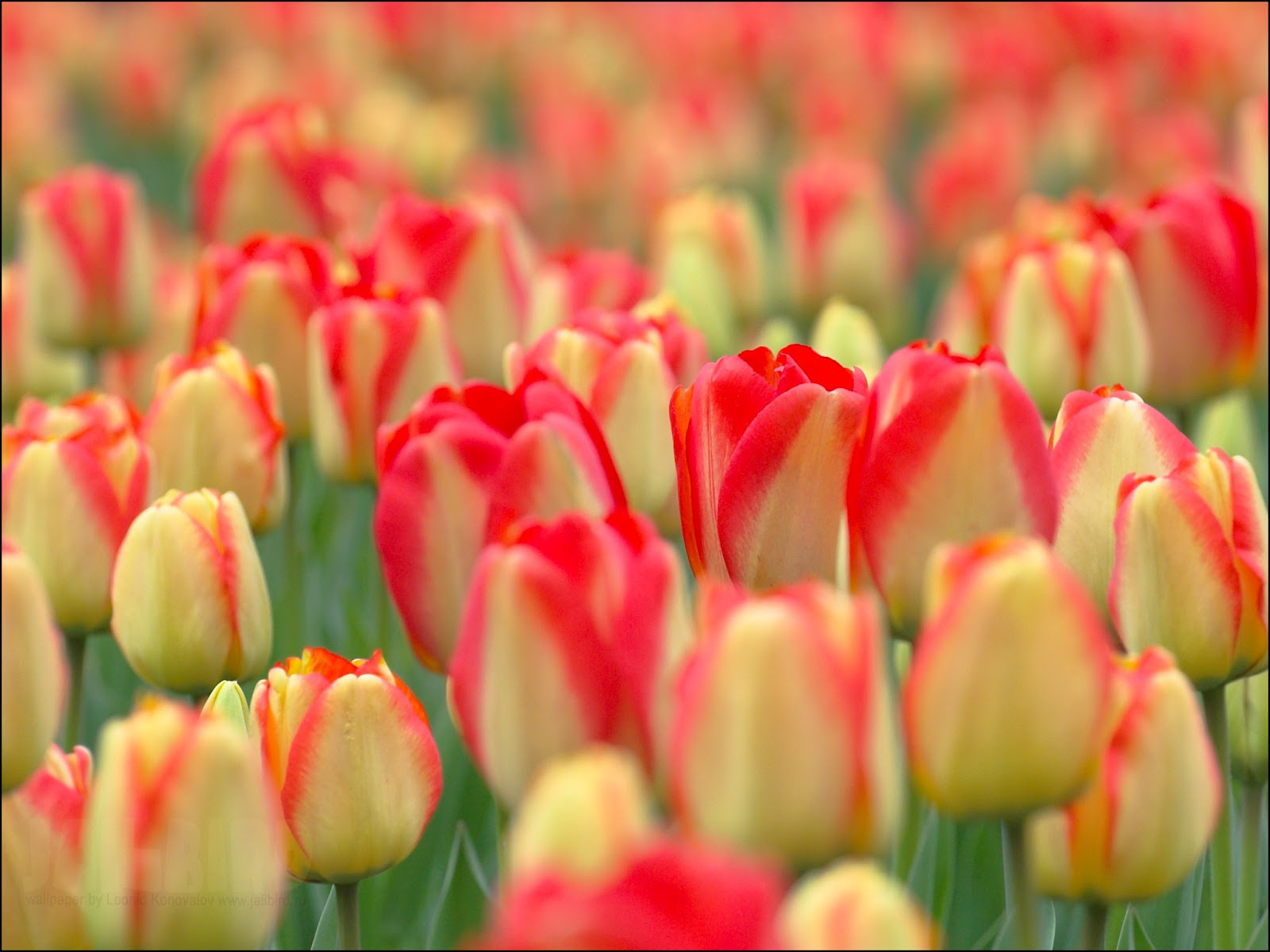flowers for flower lovers Red yellow tulips flowers pictures