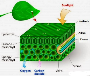 Macam-Macam Sistem Organ Pada Tumbuhan Beserta Fungsinya