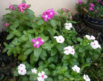 Miri State Flower