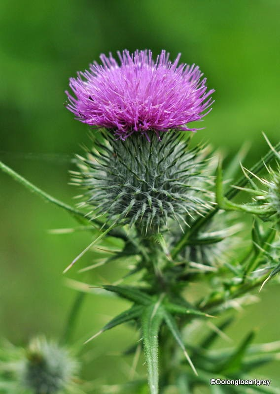 Thistle, Abingdon-on-Thames, Oxfordshire, UK