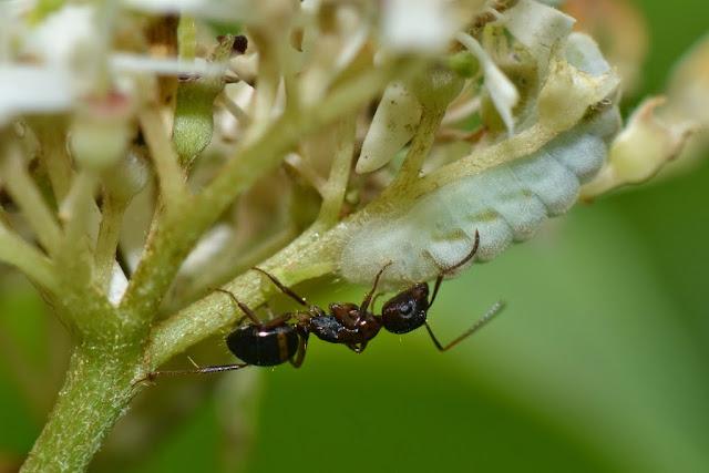 Ant feeding on honeydew from a Lycaenid caterpillar