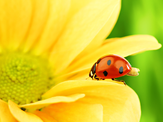 Lady Bugs wallpapers
