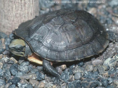box Turtle endangered