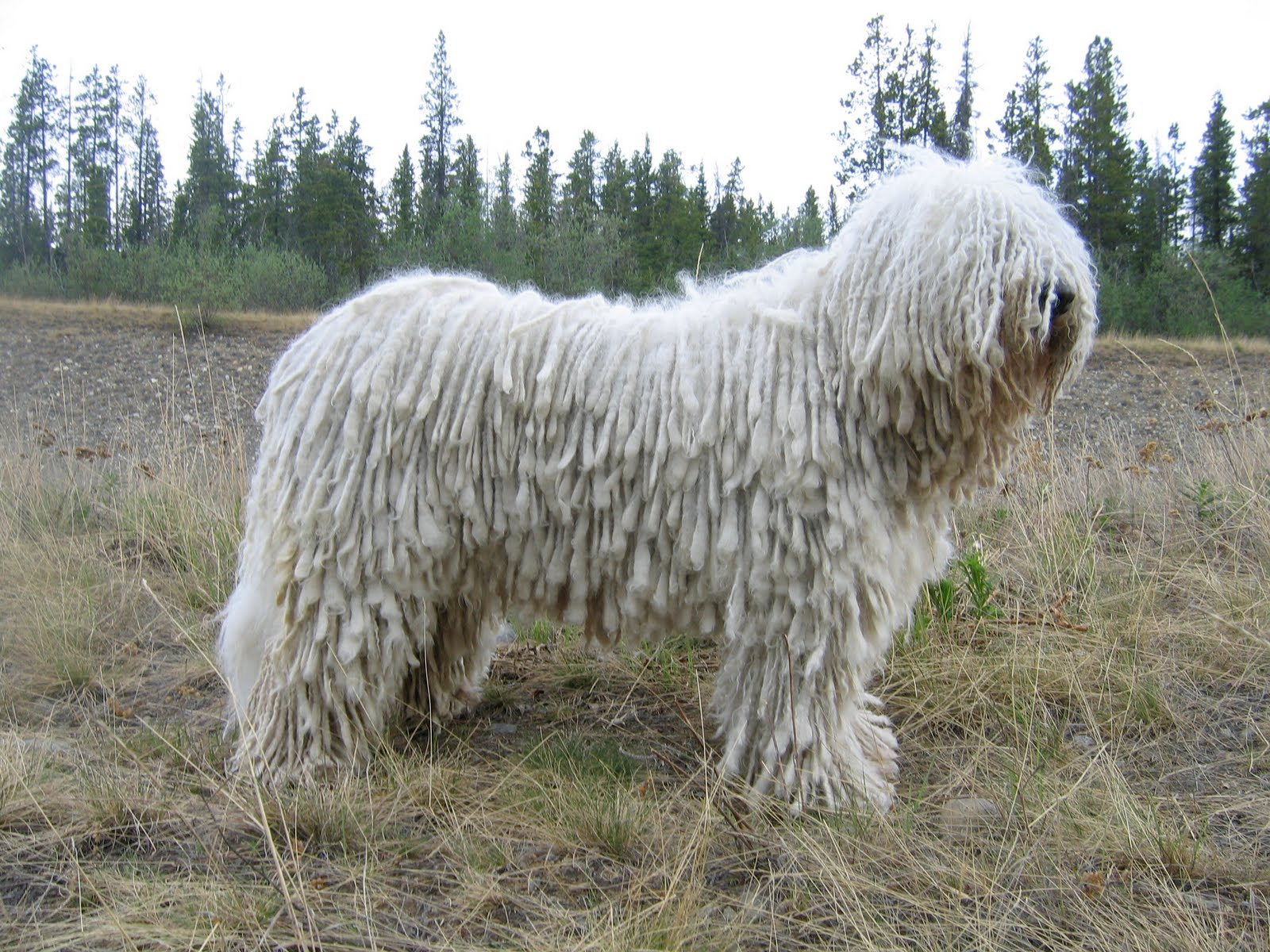 Funny Komondor Dog Photos 2013 | Funny And Cute Animals Komondor Dog Pictures