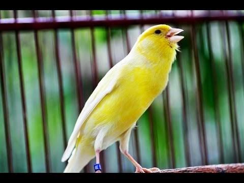10 Jenis Burung Kenari Yang Populer Di Indonesia
