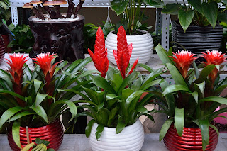 Bromeliads at Nuren Jie or Ladies Street in Beijing