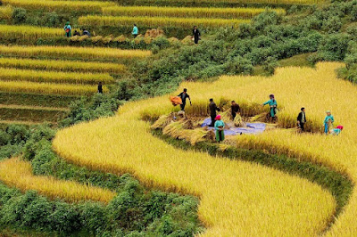 Vàng ươm mùa lúa chín ở Hoàng Su Phì