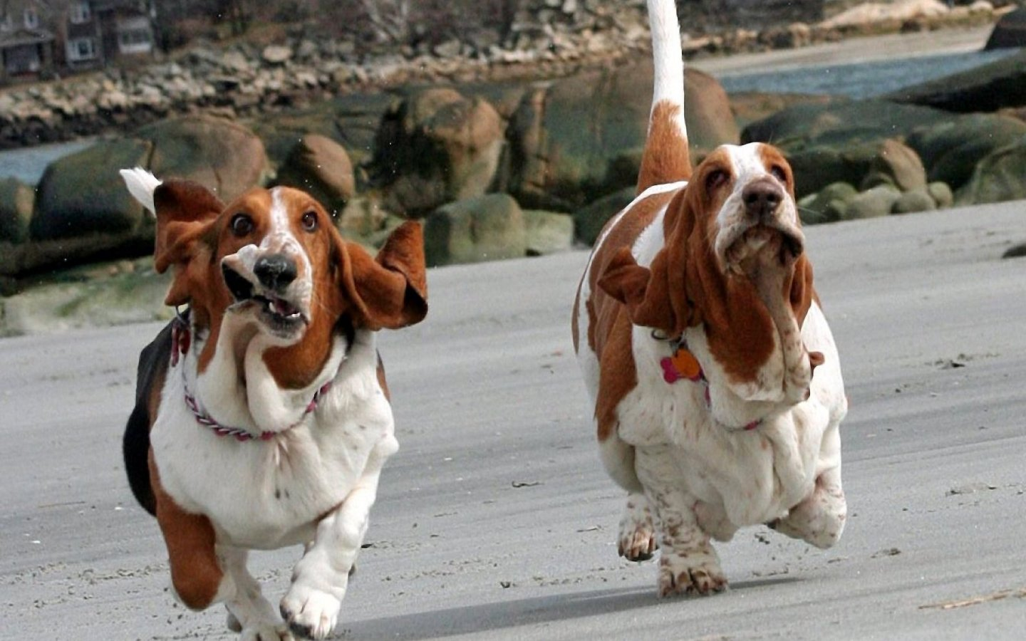 The Basset Hound | Lovely & Cute Puppy Information & Facts ... Basset Hound Running