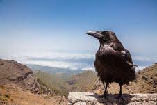 Raven at Mirador los Andenes, La Palma