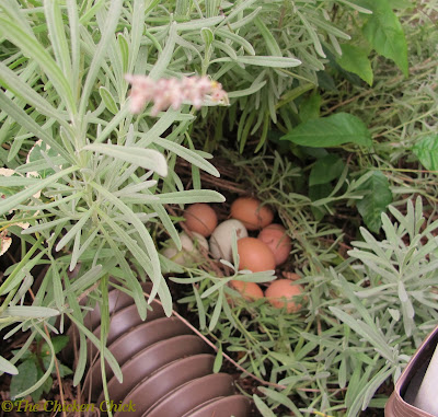 Marilyn had some help amassing this clutch in my lavender. I have no idea how long they had been there before I discovered them & threw them away.