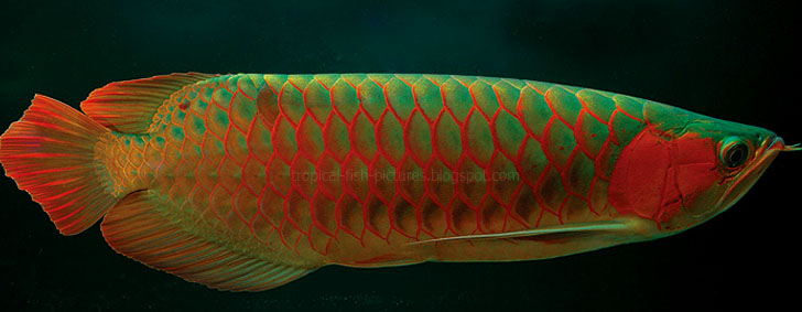 Asian Red Arowanas for Sale