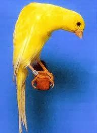 Belgian fancy canary, kenari mewah dari belgia