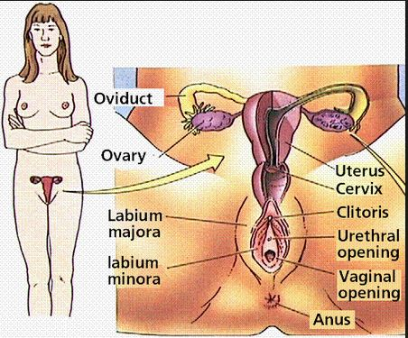 Human Female Reproductive System Reproducion Genetic Engineering Info