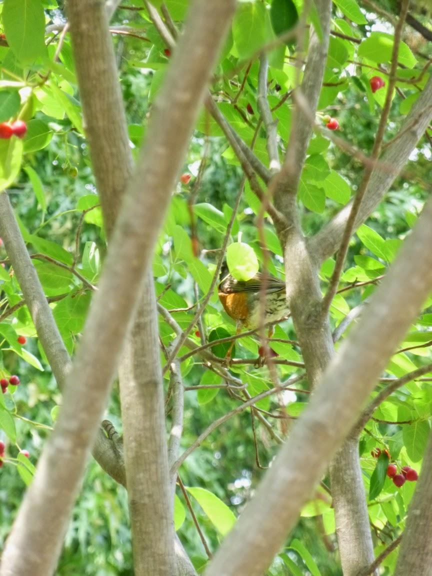 Robin amid serviceberry foliage