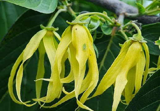 Benefits of Flowers Kenanga Overcome Various Diseases