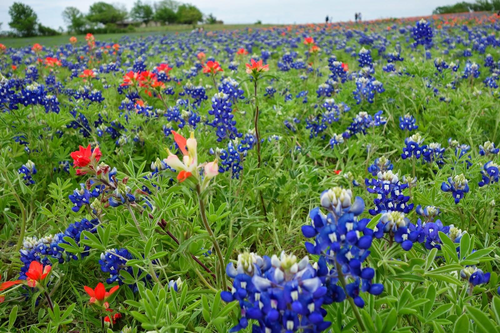 見渡す限りのお花畑!青いブルーボネット(Blue Bonnet)と、赤...  お花畑で撮影会