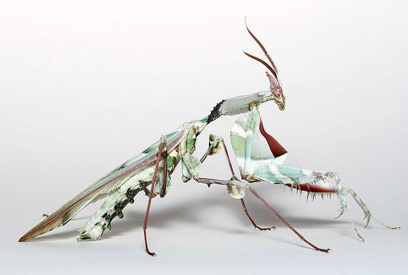 Flower Mantis Wallpaper Devils Flower Mantis