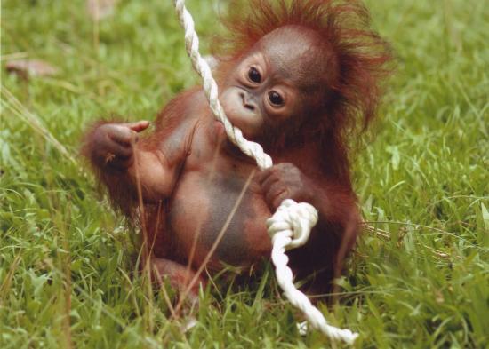Cute Baby Orangutan