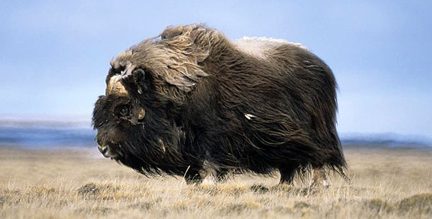 Musk Oxen Arctic Migration Latest Photos All Wildlife