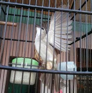 Burung Crocok : Tips Merawat Burung Crocok Untuk Pemula Dan Agar Cepet Gacor