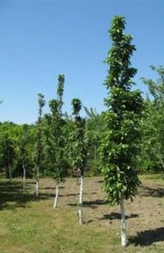 сорта колоновидных яблонь с фото