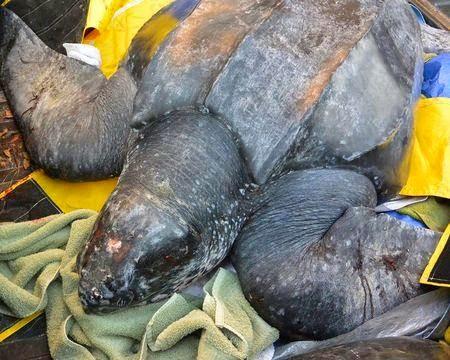 Σπάνια χελώνα, 230 κιλών διασώθηκε στην Νότια Καρολίνα