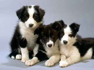 Border Collie Puppy Picture