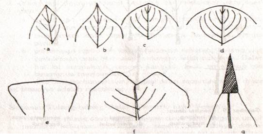 a. Runcing b. Meruncing c. Tumpul d. Membulat e. Rompang f. Terbelah g. Berduri