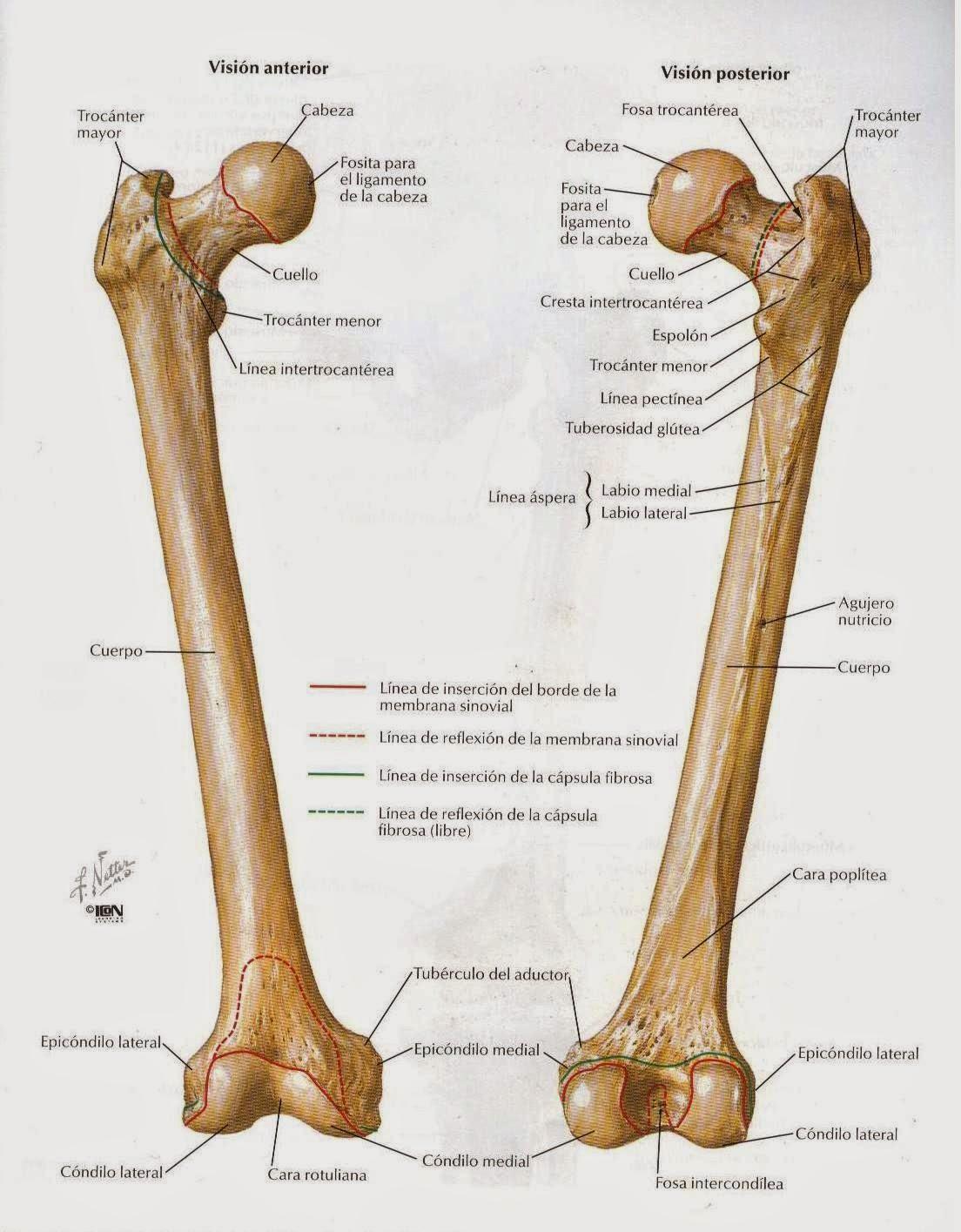 anatomíacaderayrodilla