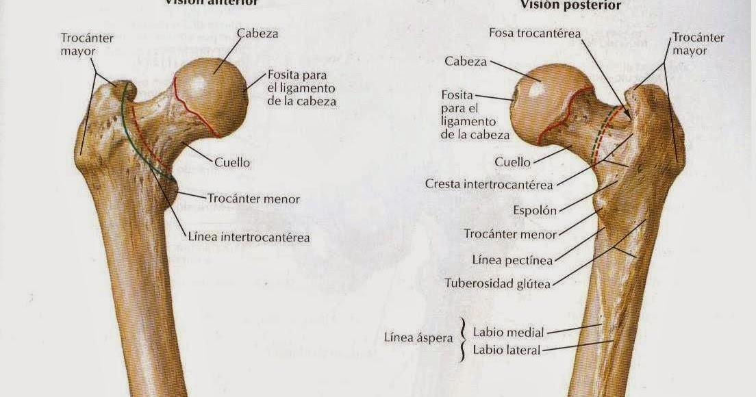 Excepcional Anatomía Fémur Proximal Galería - Anatomía de Las ...