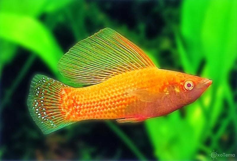 Velifera balığı yaşama ortamı