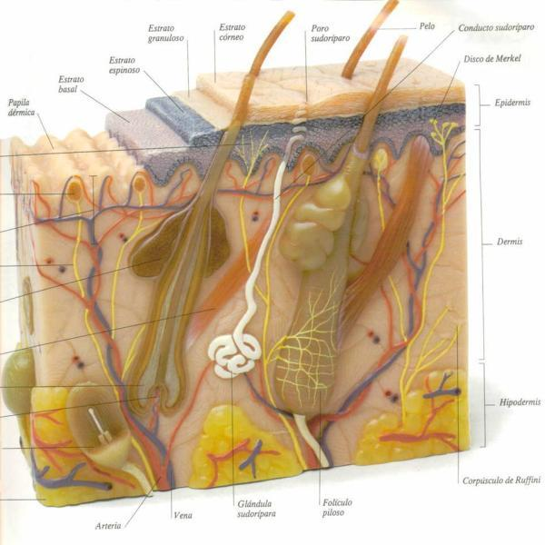 Cuerpo Humano: SISTEMA TEGUMENTARIO - LA PIEL