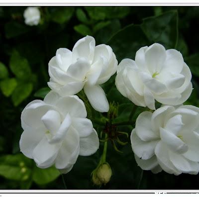 Download Gambar Bunga Melati