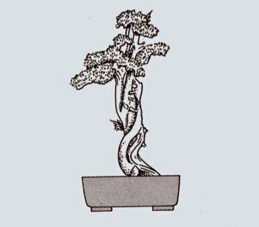 http://evoluzionebonsai.blogspot.it/2015/02/stili-bonsai-sharimiki-tronco-dilavato.html