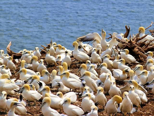 Gannet Colony on Bonaventure Island NP Quebec