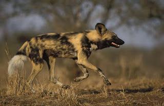Top 10 Haiwan Terpantas Di Dunia anjing pemburu