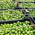 Projeto da UFCG Sumé sobre o Umbu incentiva o fortalecimento da agricultura familiar no Cariri Paraibano