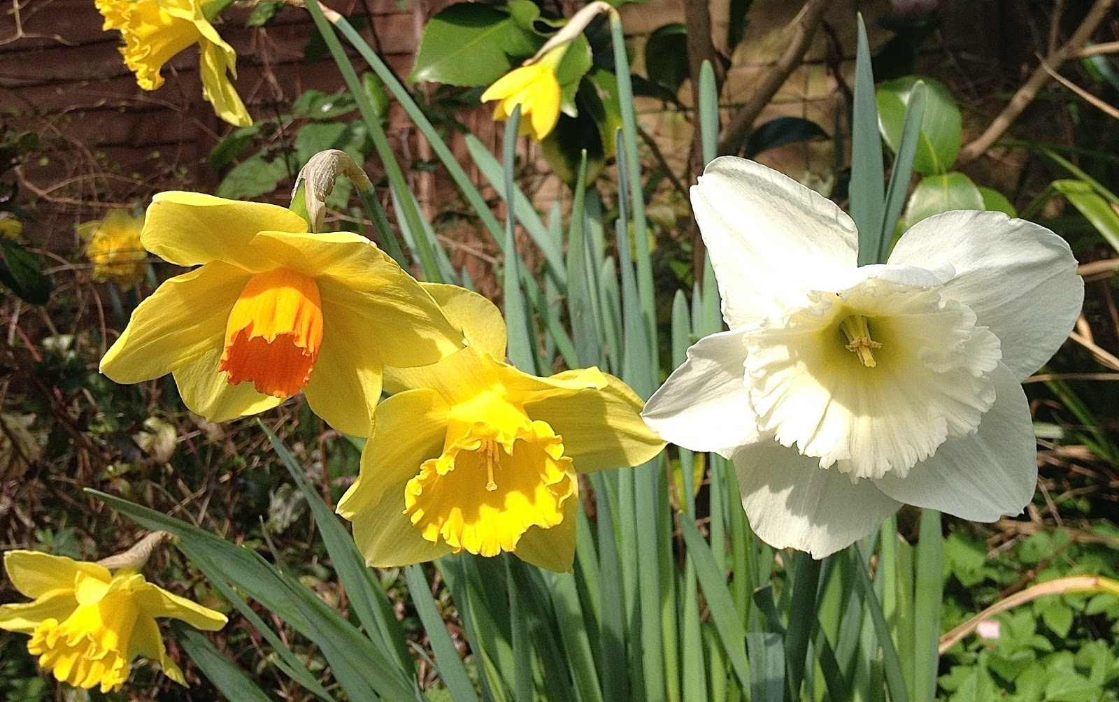Travel with angela lansbury spring flowers daffodils in london this year in london in march you can see yellow daffodils white and pink camellias and yellow forsythia bushes and pink cherry blossom on the trees mightylinksfo