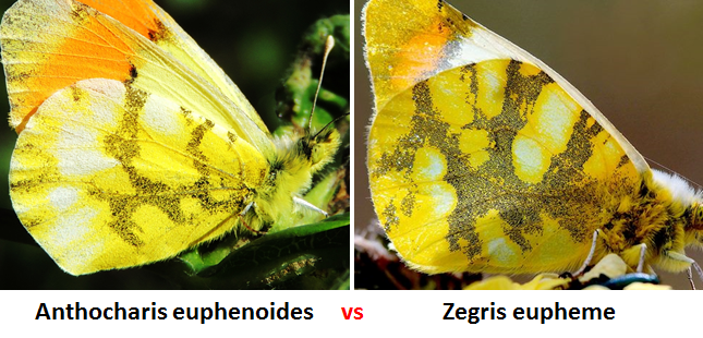 Reverso de Anthocharis euphenoides y Zegris eupheme