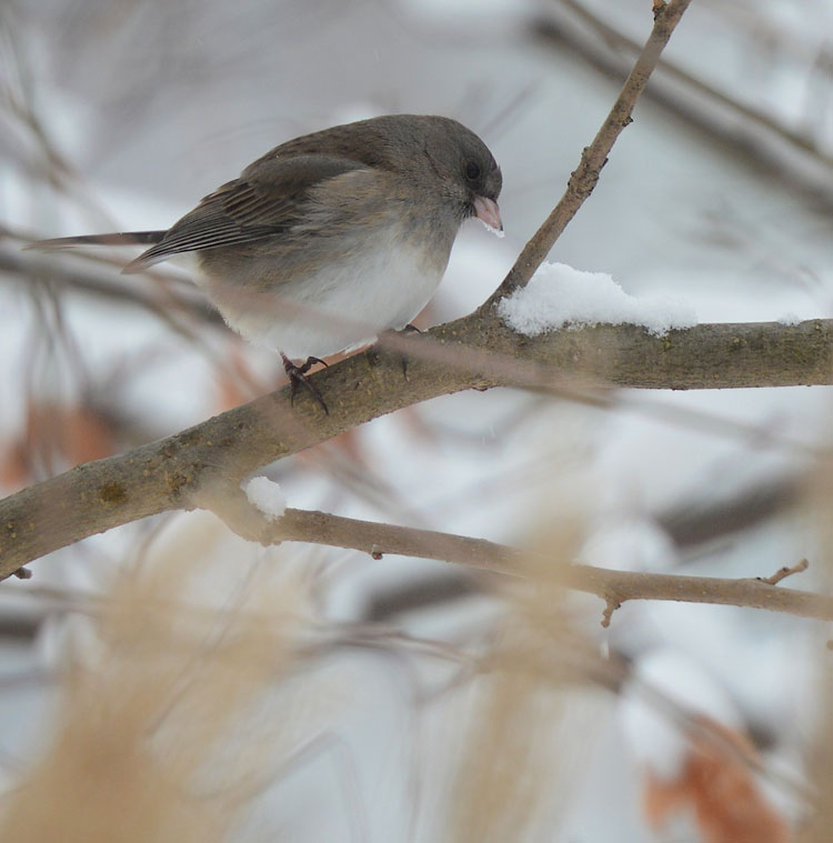 A Dark-eyed Junco (Junco hyemalis) in the snow...the first bird of 2013!