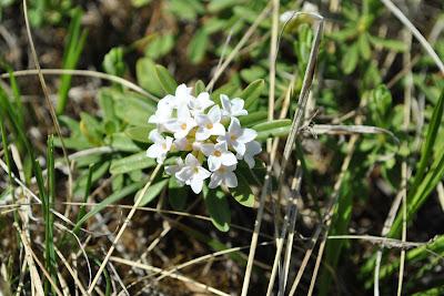 Волчеягодник Юлии (Daphne julia Koso-Pol.) с белыми цветками