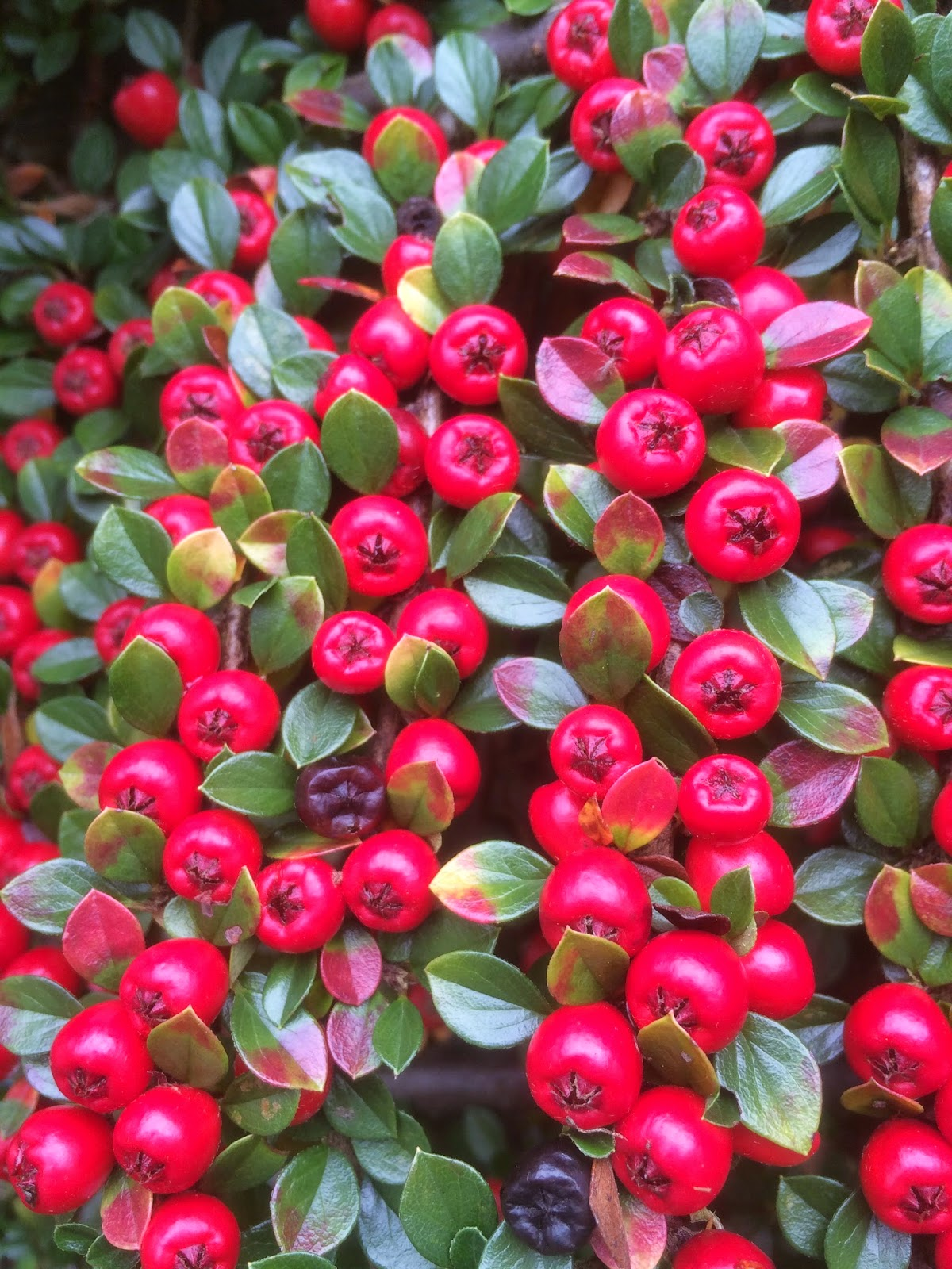 Cotoneaster berries in the Tuckshop garden