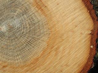 Sección del tronco de quercus robur