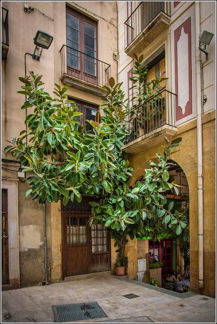 Ficus Plaça de les Peixeteres Reus
